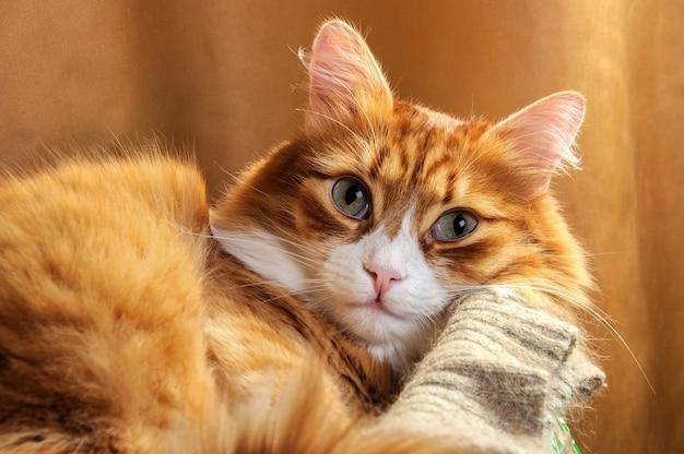 Liggende, pluizige roodharige kat in de doos. detailopname.