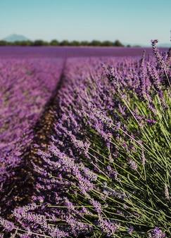 Lijnen van paarse bloemenstruiken sluiten lavendelvelden in de provence, frankrijk