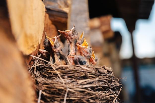Lijster nest. vogelnest in de houtschuur. pasgeboren kuikens merel. hongerige kuikens kijken op, openen hun snavel en huilen.