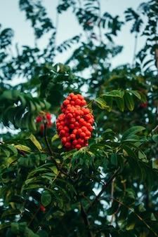 Lijsterbes, close-up van heldere lijsterbessenbessen op een boom