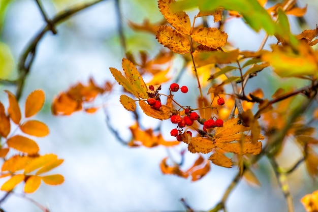 Lijsterbessen en droge oranje bladeren aan een boom in de herfst