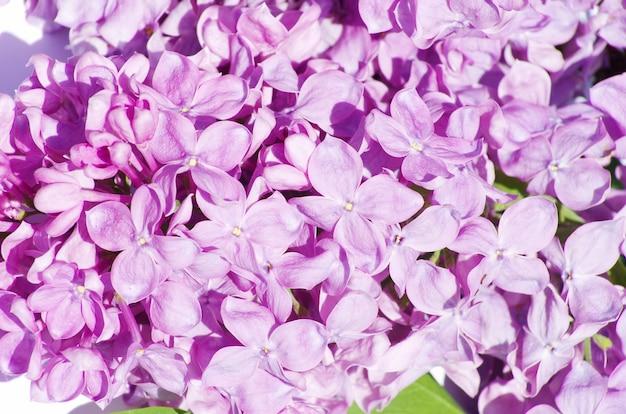 Lila bloem geïsoleerd