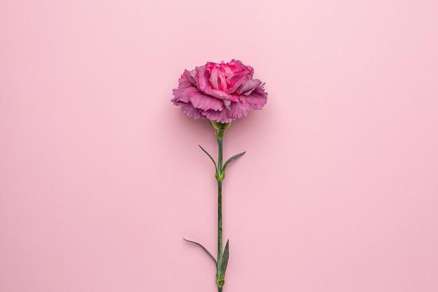 Lila bloemen anjer op roze