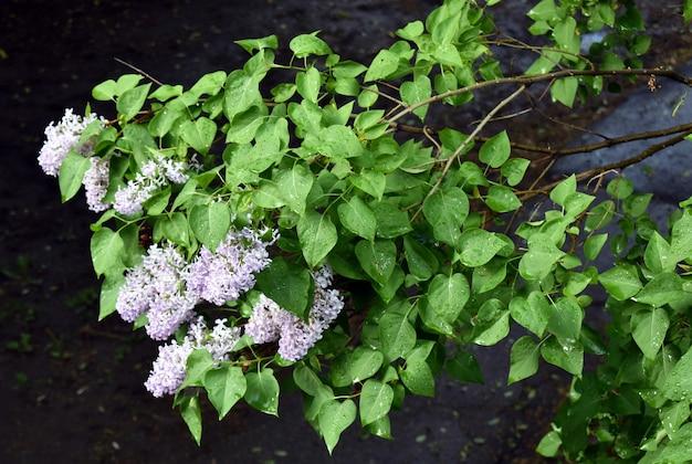 Lila bloemen in de tuin