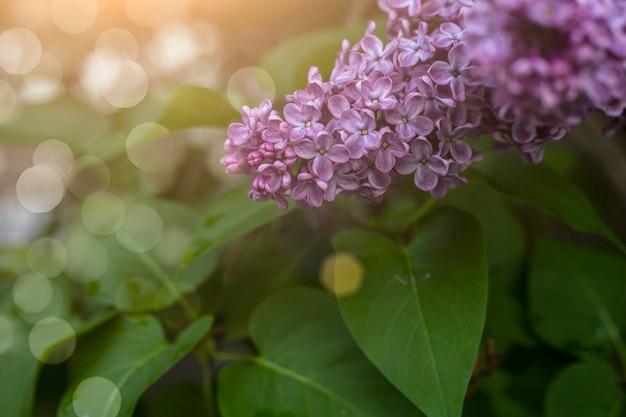 Lila bloemen in zonlicht na regen. blad textuur achtergrond.