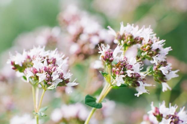 Lila bloemen van oregano bloeien in de zomer in de tuin