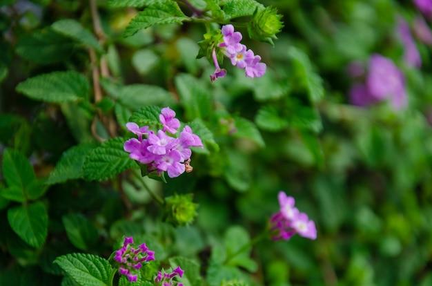 Lila bloemen