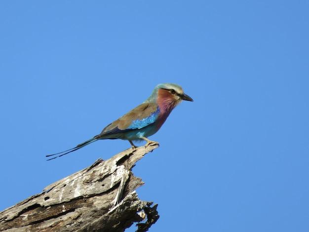 Lila-breasted rolvogel neergestreken op een boomstam in de blauwe hemelachtergrond, de fauna van tanzania
