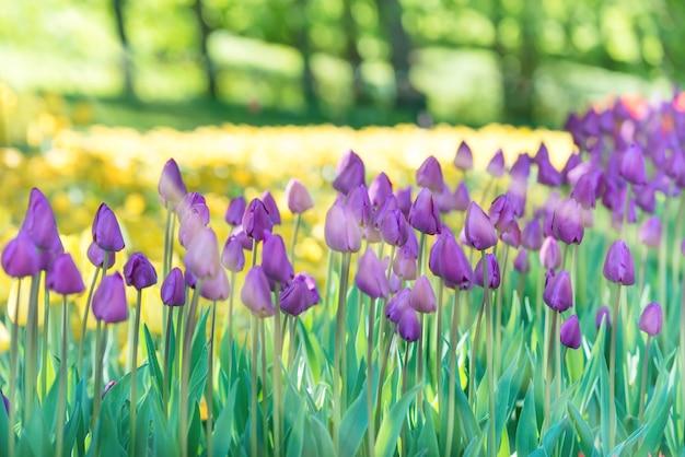 Lila en gele tulpen in het groene park met zonlicht