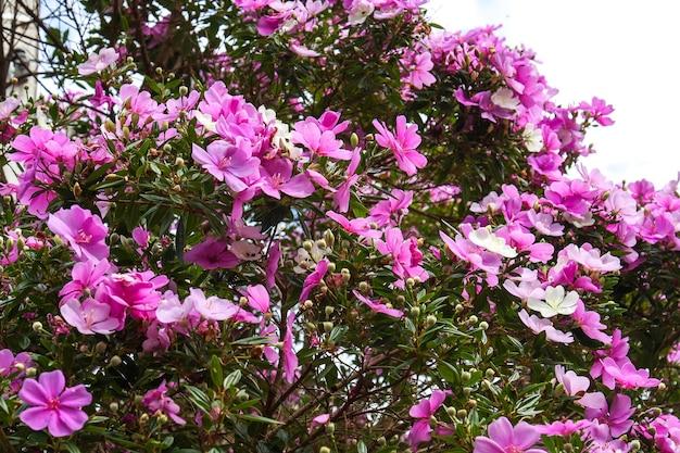 Lila en roze bloemen in een tuin. selectieve aandacht.