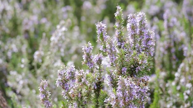 Lila heide bloemen close-up. een veld vol bloeiende heide. de heidestruiken wuiven in de wind. onscherpe achtergrond, 4k uhd.