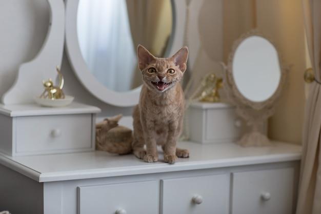 Lila kat van het ras devon rex zit op een dressoir en miauwt