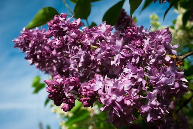 Lila. seringen, syringa of spuit. kleurrijke purpere seringenbloesems met groene bladeren.
