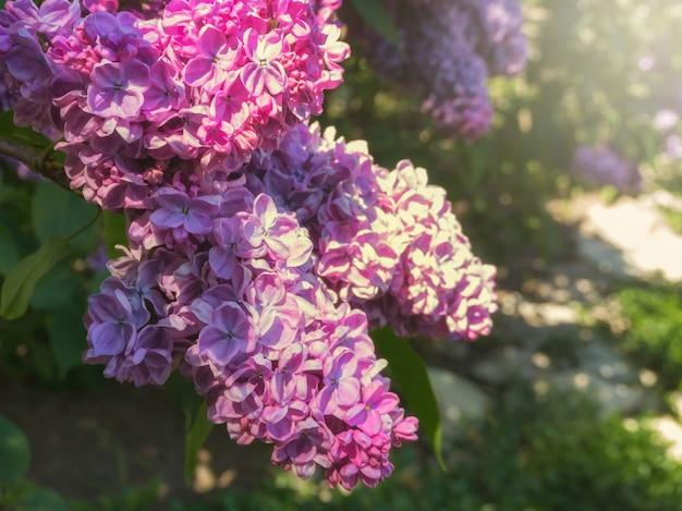 Lila tak in de zon. lente bloemen achtergrond.