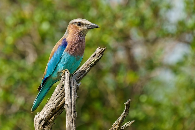 Lilac-breasted roller zittend op een tak