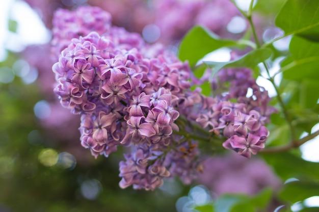 Lilac struik die in de lentetuin bloeit