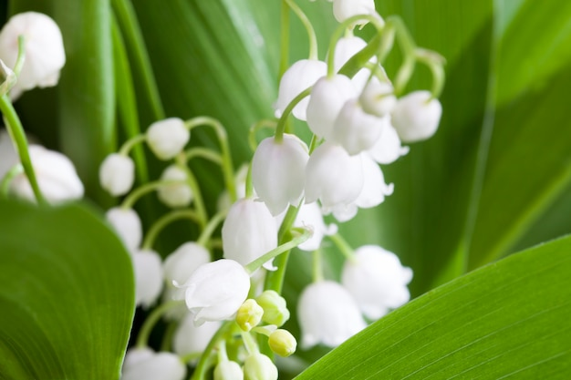 Lily of the valley bloemen