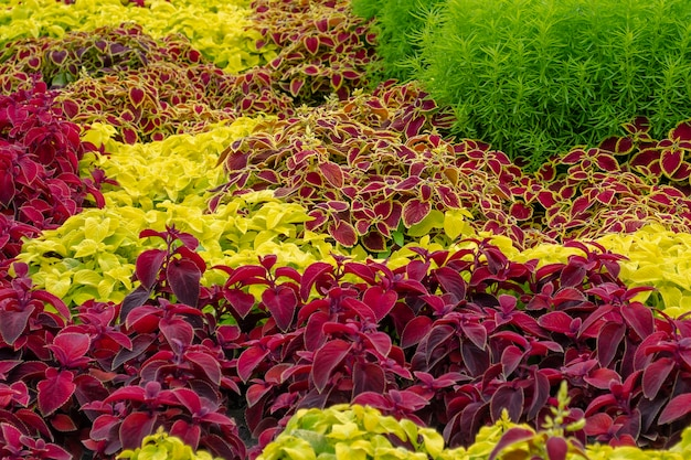 Limoen, bordeauxrood, bonte coleus, groene cochia. plectranthus scutellarioides, bassia scoparia
