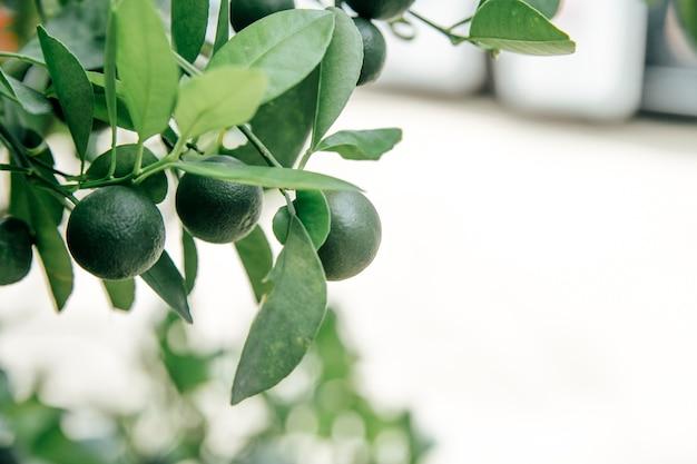 Limoen groeit aan een boom