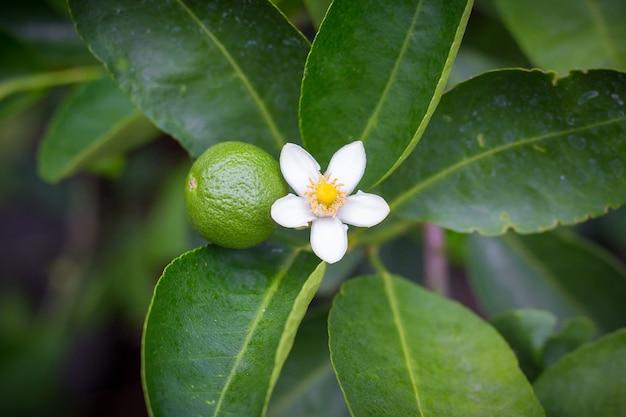 Linde en witte limoenbloemen, fris en geurig aan de lindeboom