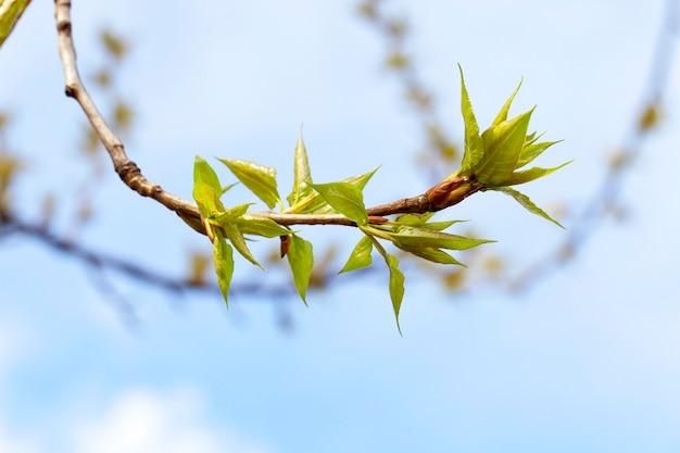 Lindebomen in de lente - gefotografeerde close-up van jonge groene bladeren op een lindeboom in de lente van het jaar, de maand april,
