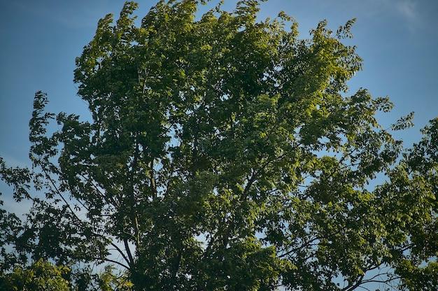 Lindeboom, typisch voor de padana-vlakte, in de zomer bewogen door de sterke wind van een zomerdag.