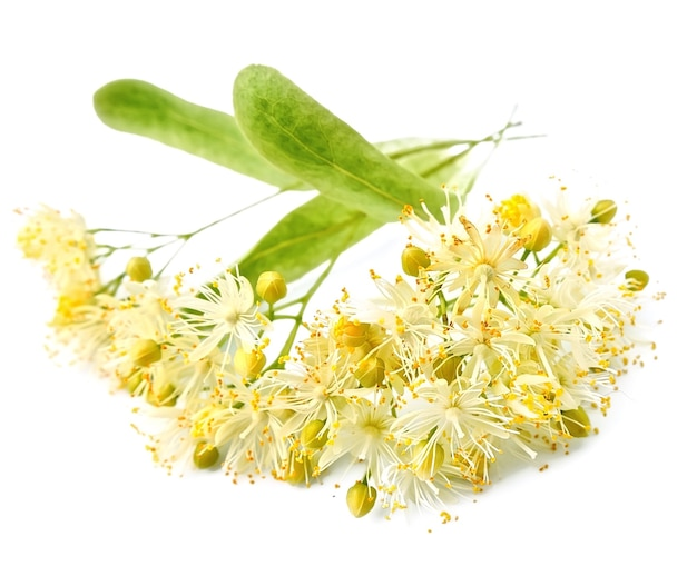 Linden bloemen op wit