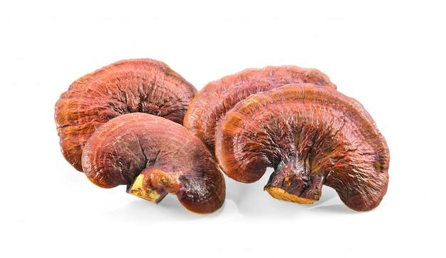 Lingzhi mushroom geïsoleerd op witte ruimte