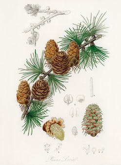 Linus larix illustratie van medical botany (1836)