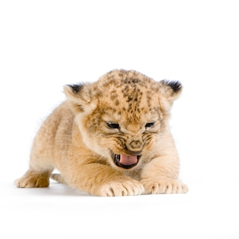 Lion cub (3 weken) geïsoleerd liggen.