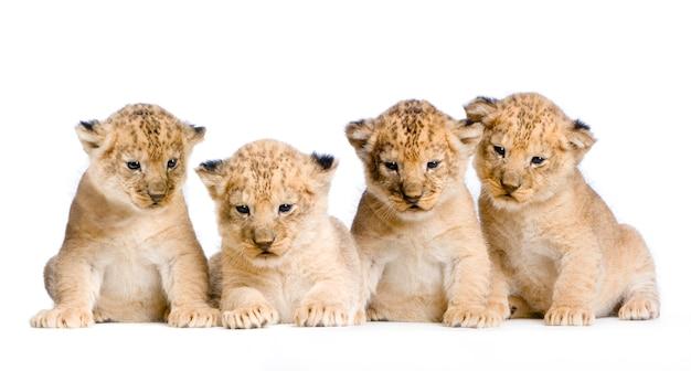 Lion cub (3 weken) geïsoleerd.