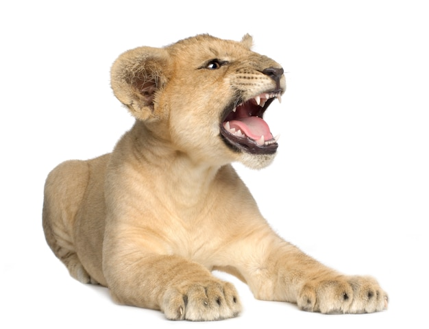 Lion cub (4 maanden) vooraan op een geïsoleerd wit