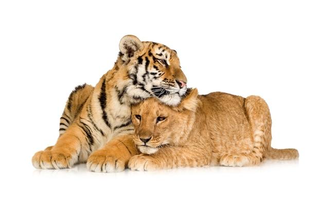 Lion cub (5 maanden) en tijgerwelp (5 maanden) voor een wit