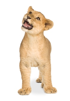 Lion cub (5 maanden) vooraan op een geïsoleerd wit