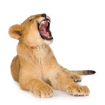 Lion cub (6 maanden) geïsoleerd