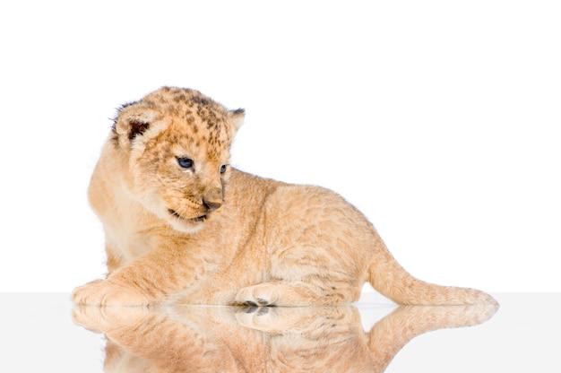 Lion cub geïsoleerd liggen.