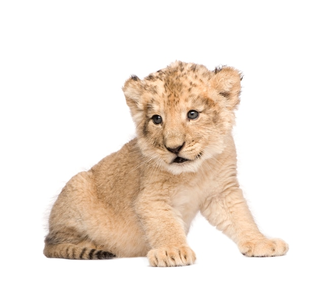 Lion cub op een geïsoleerd wit