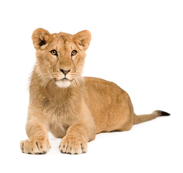 Lion cub vooraan op een geïsoleerd wit