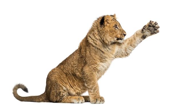 Lion cub zitten en handtastelijkheden omhoog