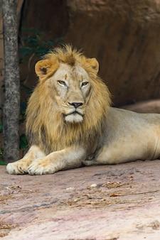 Lion face, nature