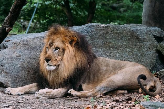 Lion in de bronx zoo. new york