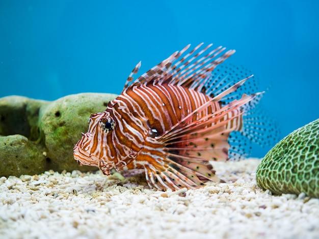 Lionfish of duivel firefish die op een blauwe achtergrond zwemt
