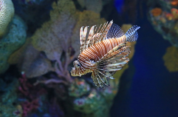Lionfish (pterois volitans) zwemmen in aquariumtank