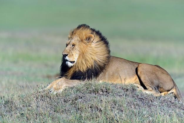 Lionss laat haar vijf welpen door de masai mara in kenia lopen