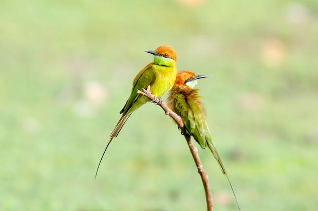 Little green bee-eater merops orientalis mooie vogels van thailand