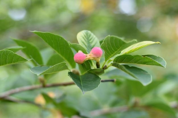 Lobner magnolia merrill onrijp fruit