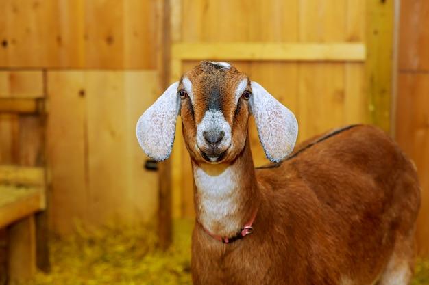 Lokale geit in de landelijke boerderij