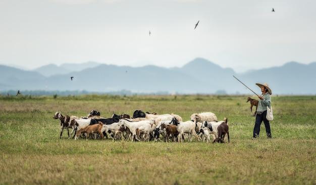 Lokale herder met een geitenkudde in de groene bergen. thailand