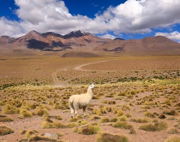 Lonely llama staat voor de bergkam. het landschap van de de herfstwoestijn in boliviaanse altiplano. andes, zuid-amerika