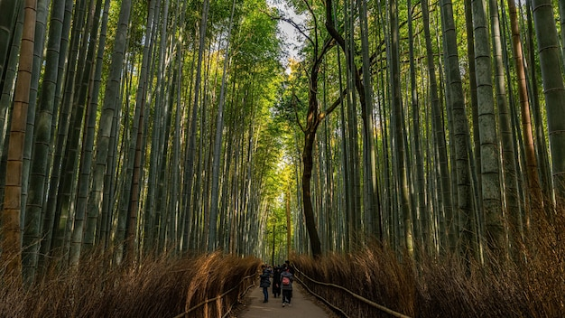 Long shot van hoge bamboe grassen in arashiyama bamboo grove, kyoto, japan